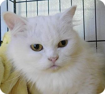 Persian Cat for adoption in Winston-Salem, North Carolina - Chandra