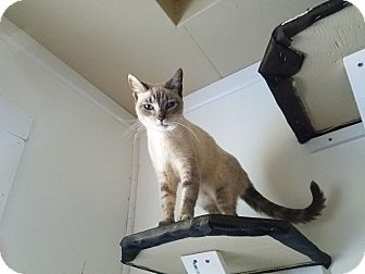 Colorpoint Shorthair Cat for adoption in Medford, New York - Susi