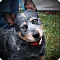 Adopt A Pet :: Hank - Germantown, MD