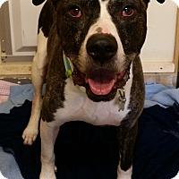 Adopt A Pet :: Tyson - Franklin, NH