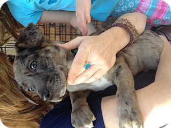 Australian Cattle Dog/Blue Heeler Mix Puppy for adoption in North Hollywood, California - Jackie