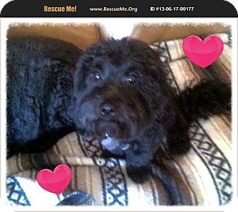 Poodle (Miniature)/Lhasa Apso Mix Dog for adoption in Scottsdale, Arizona - Lincoln