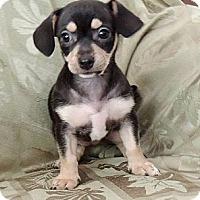 Adopt A Pet :: Pepper - La Habra Heights, CA
