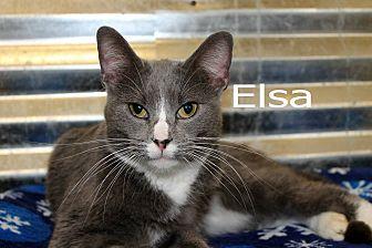 Domestic Shorthair Cat for adoption in Wichita Falls, Texas - Elsa