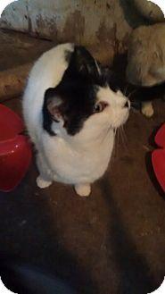 American Shorthair Cat for adoption in North, Virginia - Snowflake