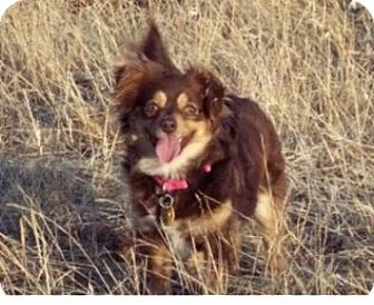 Pomeranian/Chihuahua Mix Dog for adoption in Winchester, California - Missy