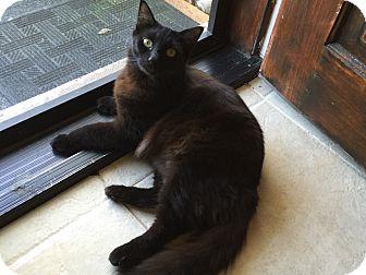 Domestic Mediumhair Cat for adoption in Sarasota, Florida - Nigel
