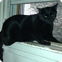 Domestic Shorthair Cat for adoption in valhalla, New York - BARN HOMES NEEDED