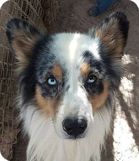 Australian Shepherd Dog for adoption in Las Vegas, Nevada - Yowza