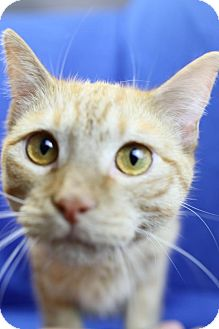 Domestic Shorthair Cat for adoption in Winston-Salem, North Carolina - Penn