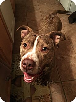 American Staffordshire Terrier/Terrier (Unknown Type, Medium) Mix Dog for adoption in Northville, Michigan - Gizmo