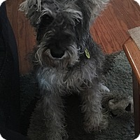 Adopt A Pet :: Mr. Barkley Von Schnauzer - Millersville, MD