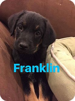 Hound (Unknown Type) Mix Puppy for adoption in Mount Laurel, New Jersey - Franklin