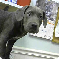 Adopt A Pet :: GRAYSON - Atlanta, GA