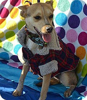 Terrier (Unknown Type, Medium)/Chihuahua Mix Puppy for adoption in San Diego, California - Micky