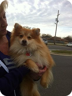 Pomeranian Dog for adoption in Baton Rouge, Louisiana - Blaze