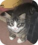 Maine Coon Kitten for adoption in Colorado Springs, Colorado - K-Leonard4-Joey