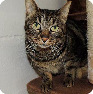 Domestic Shorthair Cat for adoption in Long Beach, Washington - Abby