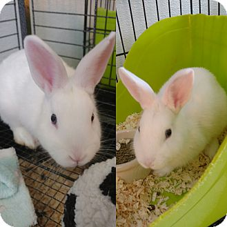 Other/Unknown Mix for adoption in Monrovia, California - Rabbits - Male and Female