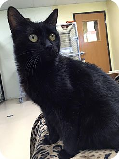 Domestic Shorthair Cat for adoption in Maryville, Missouri - Felecity