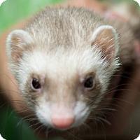 Adopt A Pet :: Stella - Balch Springs, TX