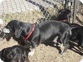 Dachshund Dog for adoption in Dodge City, Kansas - Bandit