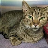 Domestic Shorthair Cat for adoption in Queenstown, Maryland - Meko
