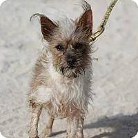 Adopt A Pet :: Tito-Adoption pending - Bridgeton, MO