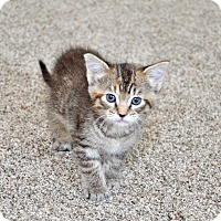 Adopt A Pet :: Latte - Davis, CA