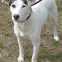 Husky Mix Dog for adoption in Manning, South Carolina - Izzy