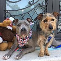 Adopt A Pet :: Romeo - Van Nuys, CA