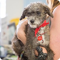 Adopt A Pet :: Nova - Los Angeles, CA