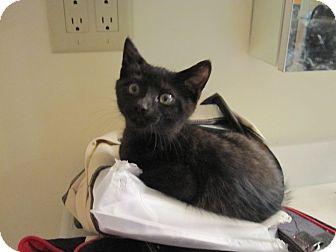 Domestic Shorthair Kitten for adoption in Spotsylvania, Virginia - Betty Sue