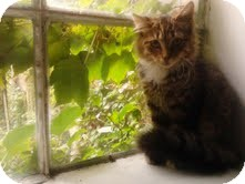Maine Coon Kitten for adoption in Brooklyn, New York - Lara