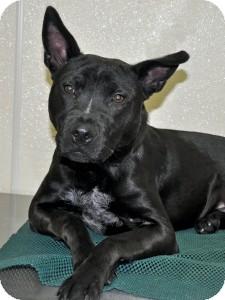 Jindo Mix Dog for adoption in Port Washington, New York - Oscar