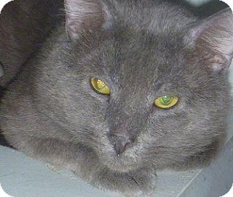 Domestic Shorthair Cat for adoption in Hamburg, New York - Ripley