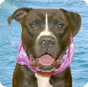Boxer Mix Dog for adoption in Cincinnati, Ohio - Basil