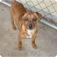 Adopt A Pet :: Eli - Pointblank, TX