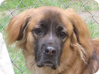 St. Bernard/Golden Retriever Mix Dog for adoption in Sudbury, Massachusetts - Llamo