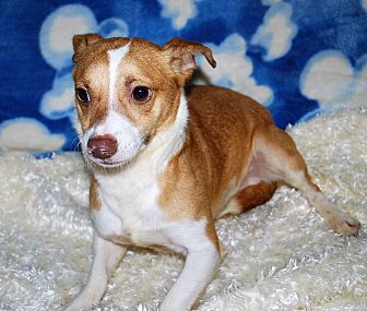 Terrier (Unknown Type, Small) Mix Dog for adoption in Waupaca, Wisconsin - Lennon