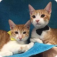 Adopt A Pet :: Alvin and Apollo - Yorba Linda, CA