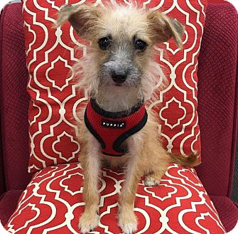 Jack Russell Terrier/Poodle (Toy or Tea Cup) Mix Puppy for adoption in New York, New York - Peaches