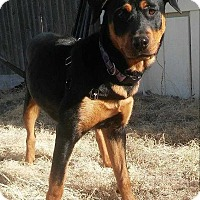Adopt A Pet :: Samantha - Billings, MT