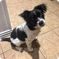 Adopt A Pet :: Yuki - Houston, TX