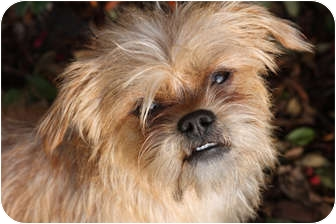 Brussels Griffon/Terrier (Unknown Type, Small) Mix Dog for adoption in Los Angeles, California - CORRINE -ADOPTION PENDING