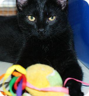 Domestic Shorthair Kitten for adoption in Pocahontas, Arkansas - Noko