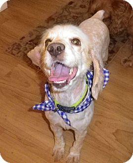 Cocker Spaniel Dog for adoption in Sacramento, California - Merlin