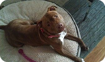 American Pit Bull Terrier Mix Dog for adoption in Glenview, Illinois - Daphne