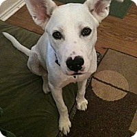 Adopt A Pet :: Ashton KP - Schertz, TX