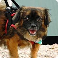 Adopt A Pet :: Trouble - Cheyenne, WY